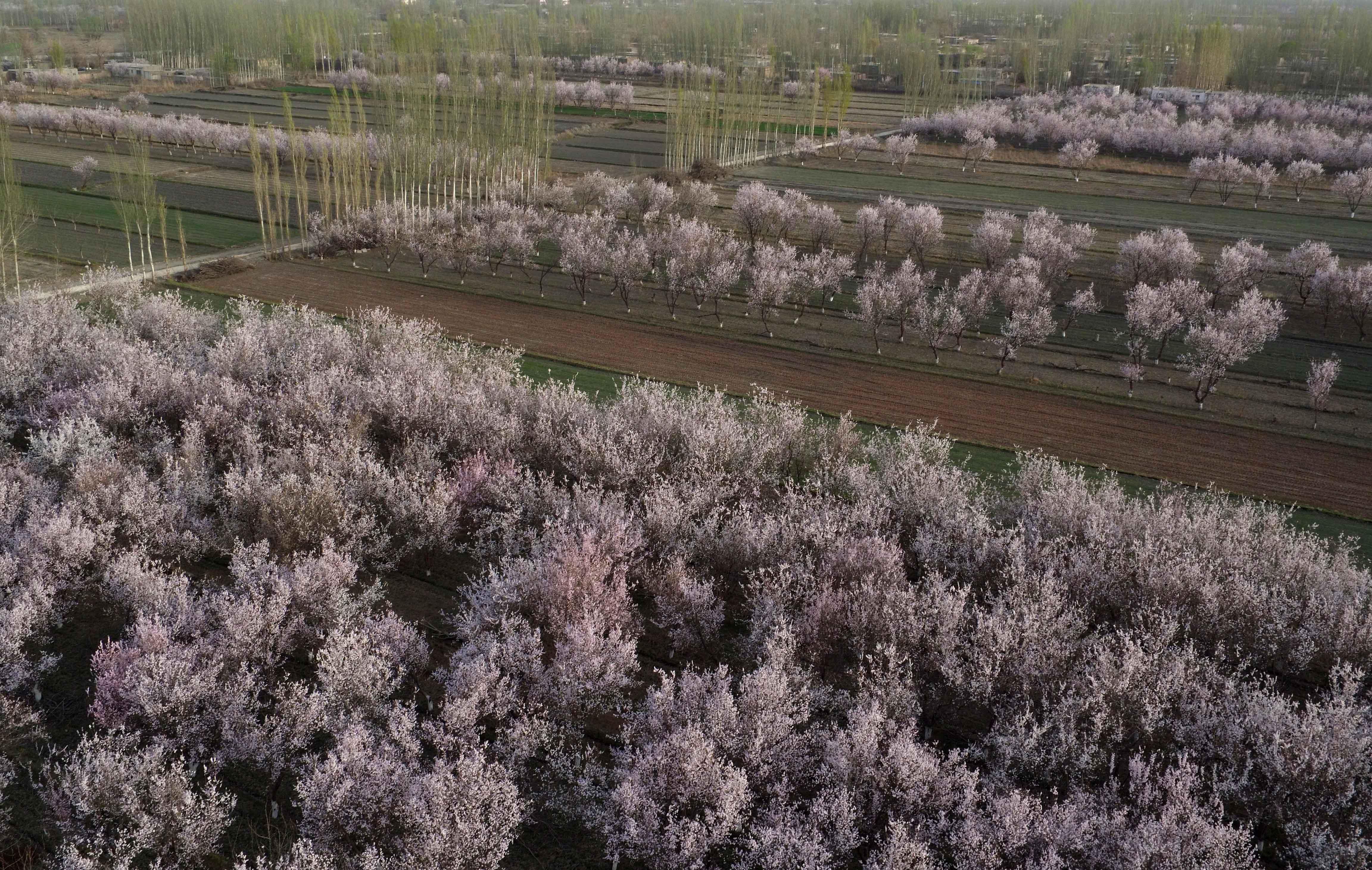2016年3月29日,航拍的新疆巴音郭楞蒙古自治州轮台县杏花格外美丽。