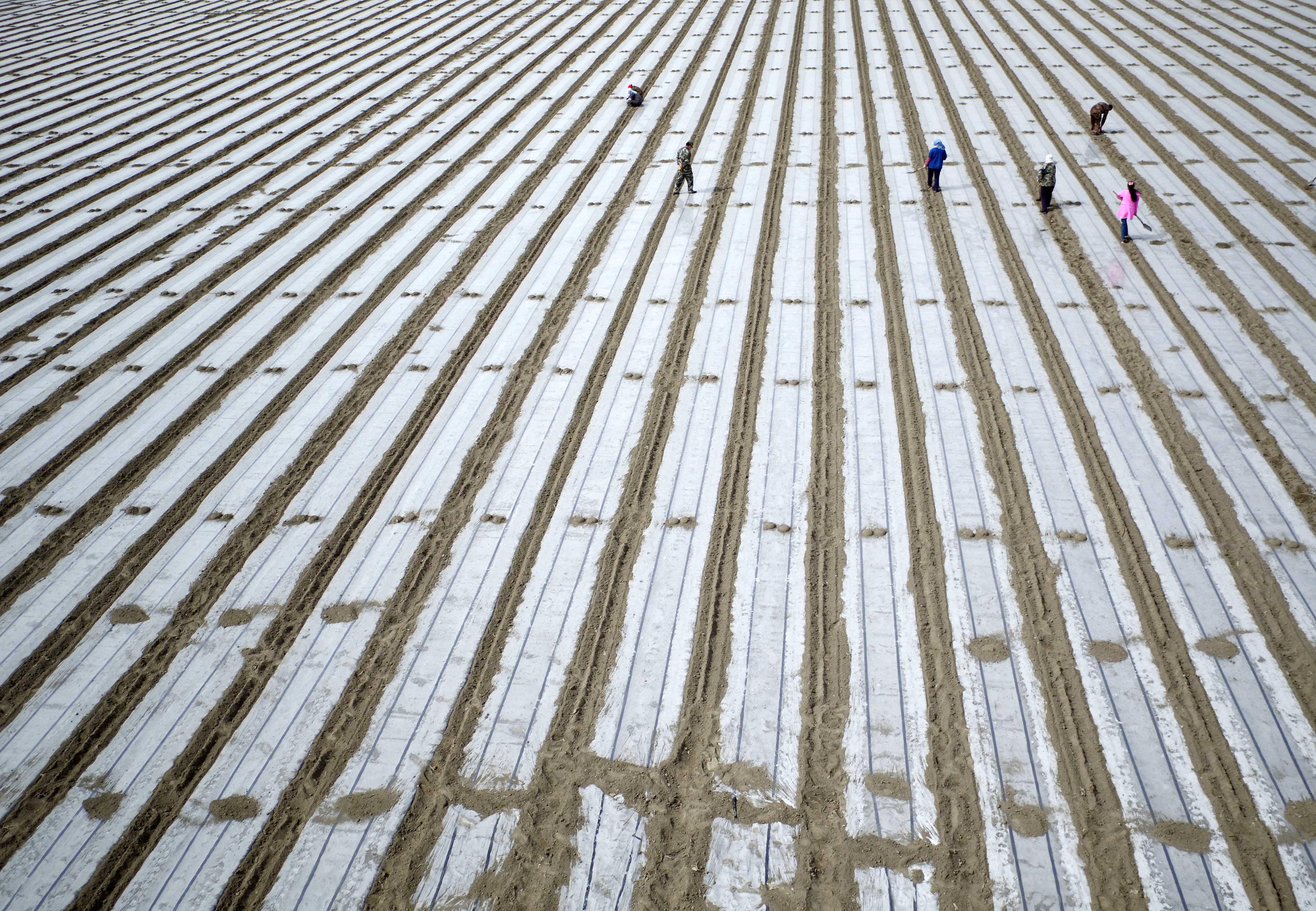 2016年3月26日,新疆生产建设兵团第二师二十九团11连职工杨先良正在播种棉花。 ...